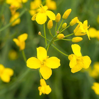 Cvijet uljane repice