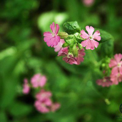 Divji cvit